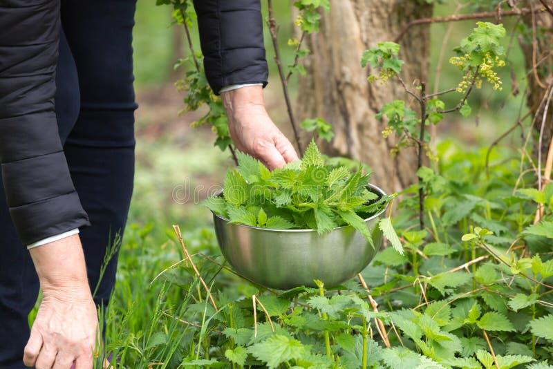 Kobiety zrywania pokrzywa przy ogr?dem zdjęcie stock