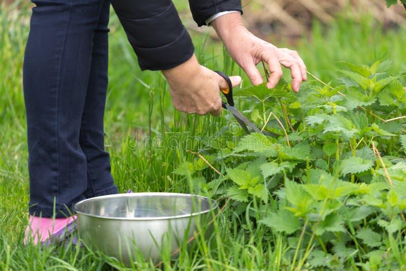 Kobiety zrywania pokrzywa przy ogr?dem obrazy royalty free
