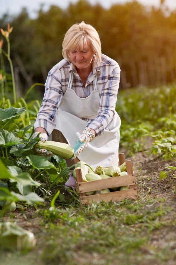 Kobiety zrywania zucchini fotografia stock