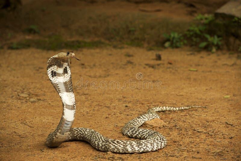 Kobra lizenzfreie stockfotos