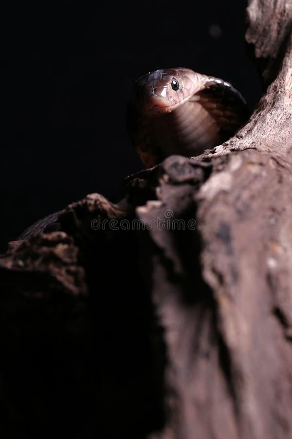 Kobra lizenzfreie stockbilder