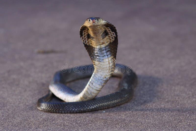 kobra royaltyfri fotografi