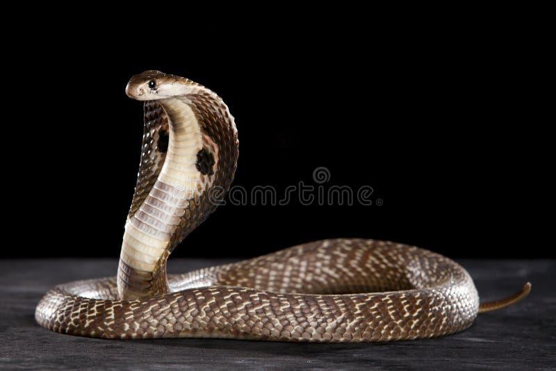 Kobra auf Tabelle lizenzfreies stockbild