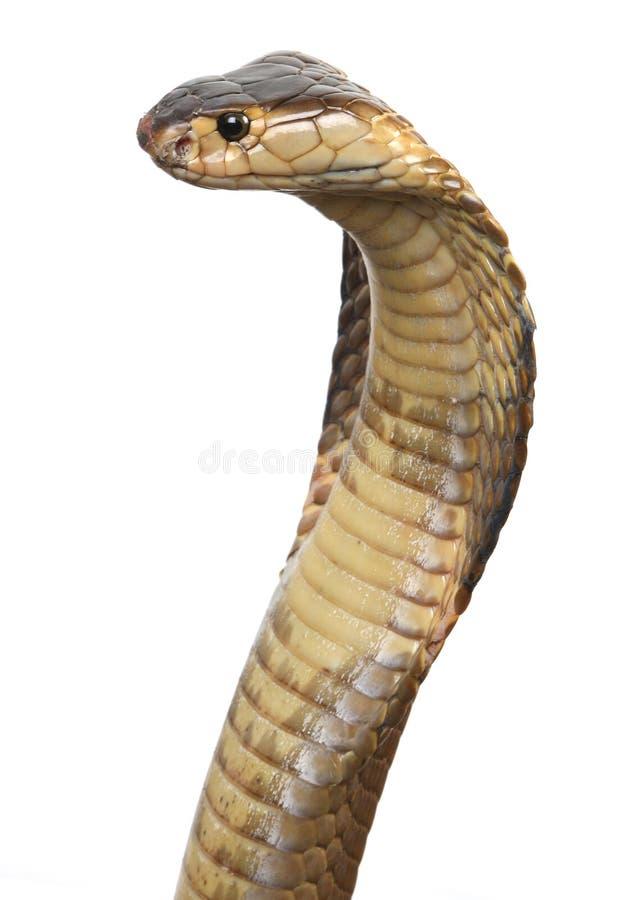 kobra isolerad konung royaltyfria foton