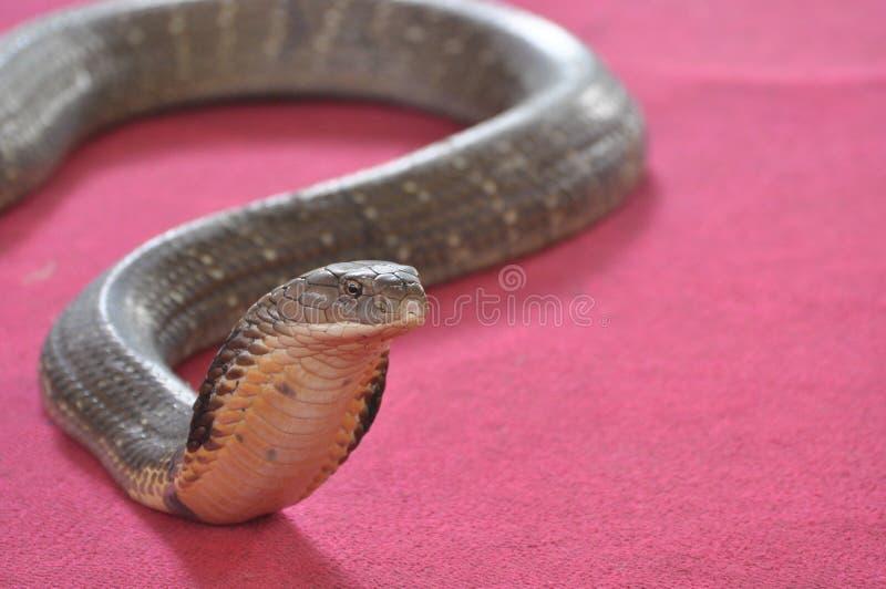 Kobra na czerwonym backgrond zdjęcie stock
