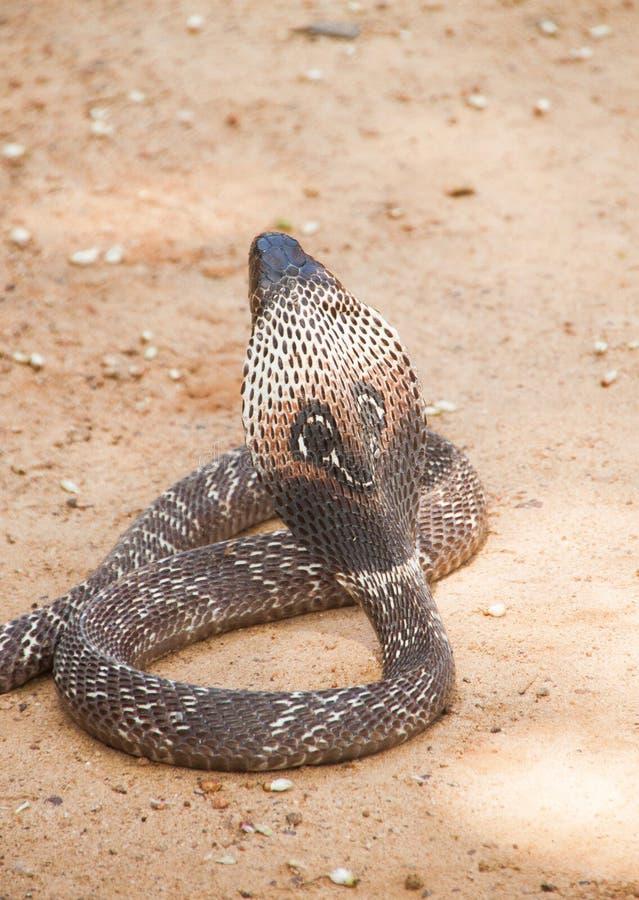 Kobra węża sri lanka zdjęcia royalty free