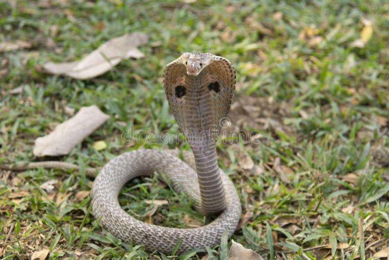 Kobra w Zachodnim Bengalia, India fotografia royalty free