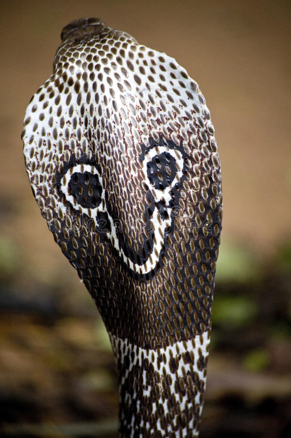 kobraindier royaltyfri bild