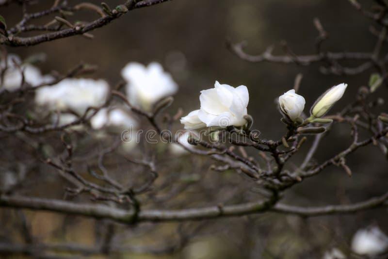 Kobus de magnolia, connu sous le nom de mokryeon, avec les fleurs blanches photographie stock libre de droits