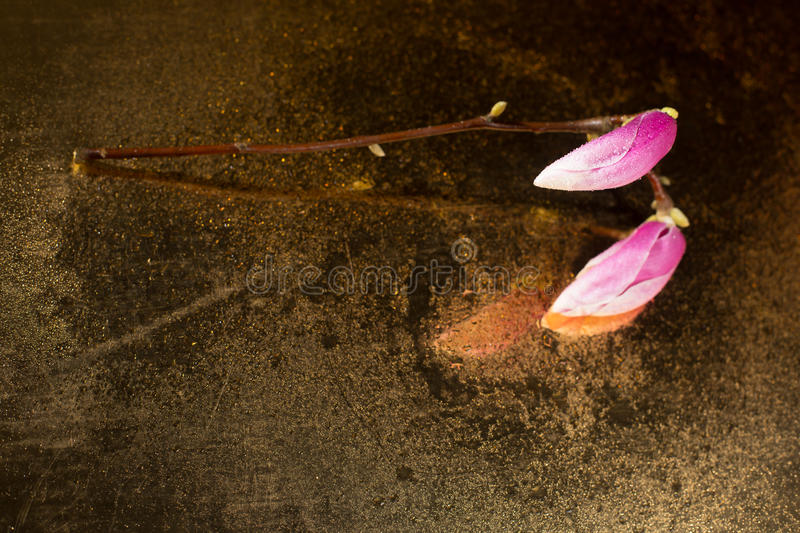 Kobus magnolia buds covered with droplets placed on an old mirror stock photo