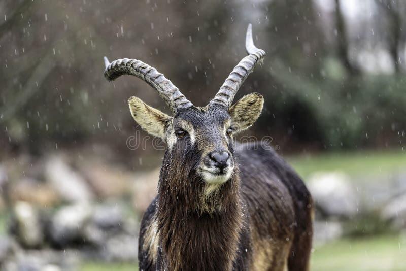 Kobus megaceros stockfoto
