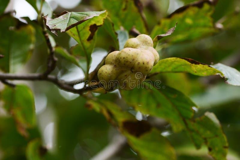 Kobus van de magnolia stock foto