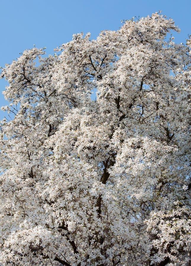 Kobus van de magnolia royalty-vrije stock foto