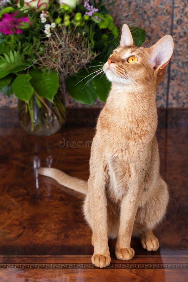 Kobylaka żeński abyssinian kot na brązu stole obraz stock