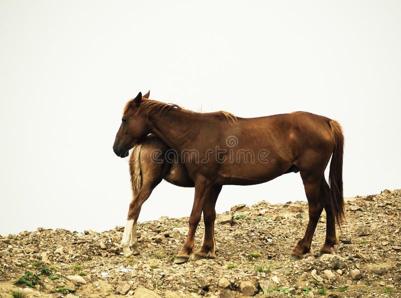 Kobyli koń i źrebię na białym chmurnym tle zdjęcie stock