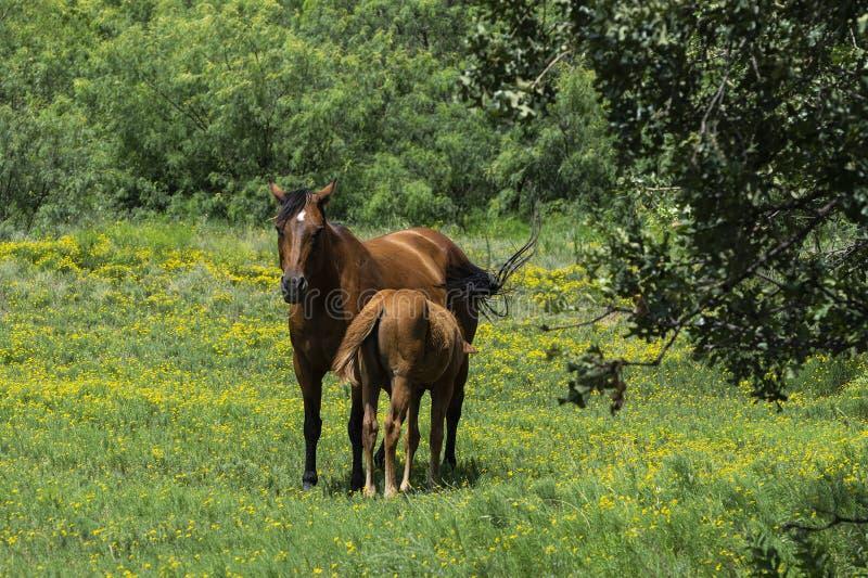 Kobyli Koński pielęgnacji źrebię w polu Żółci kwiaty obraz royalty free