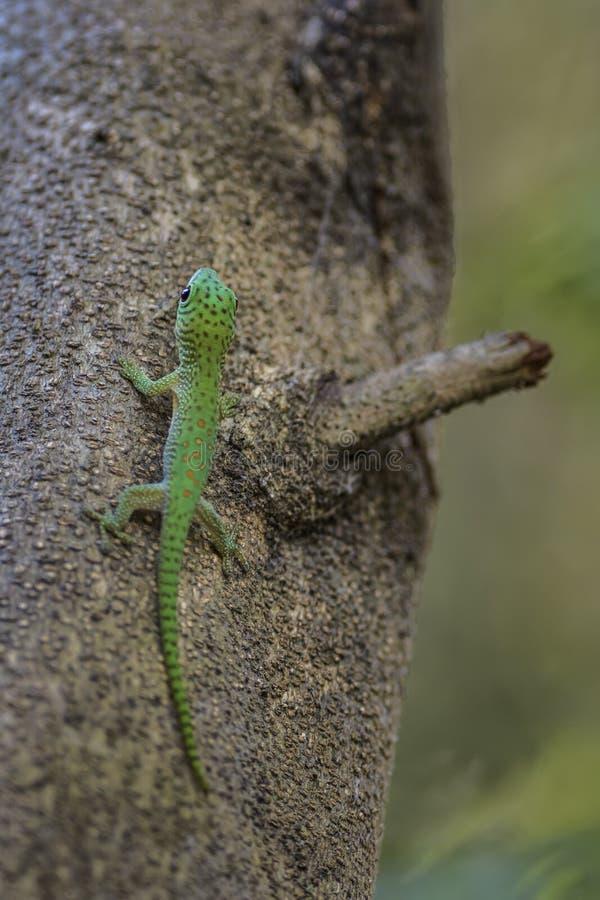 Koch ` s dnia gigantyczny gekon - Phelsuma madagascariensis Kochi zdjęcie stock