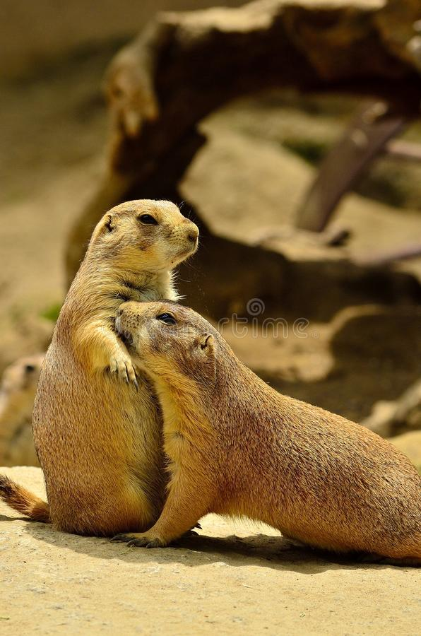 Kochać Groundhogs zdjęcia stock