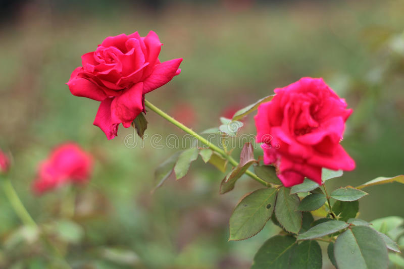 Kochająca czerwieni róża obraz stock