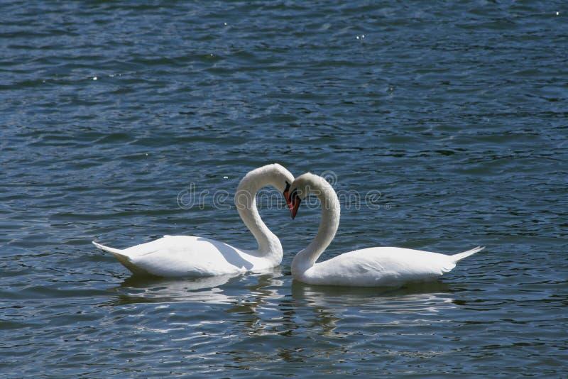 kochający svans obraz royalty free