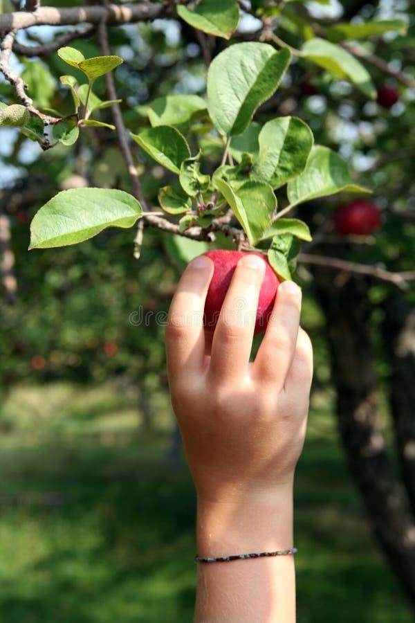 kochanie jabłczana ręka - s małego do osiągnięcia obrazy stock