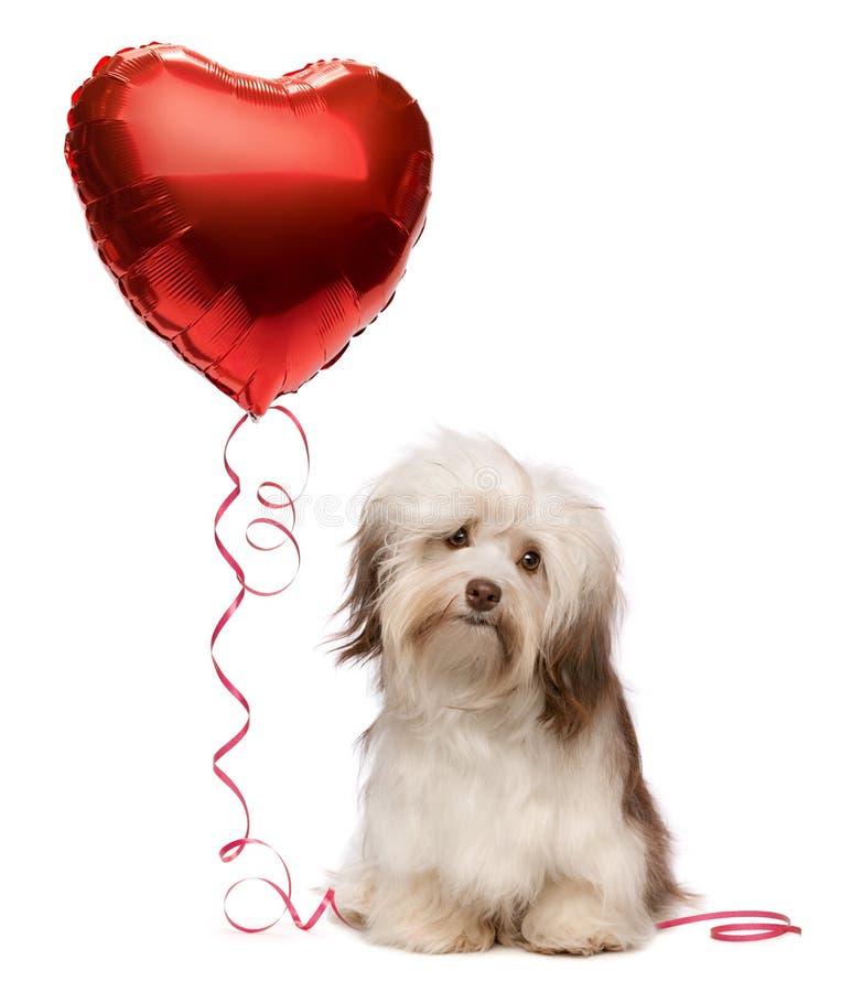 kochanka havanese valentine zdjęcia royalty free