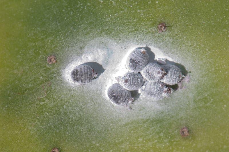 Kochenillen Dactylopius-Kokkenfrauen auf Maxima einer Barbary-Feige Opuntie lizenzfreie stockbilder