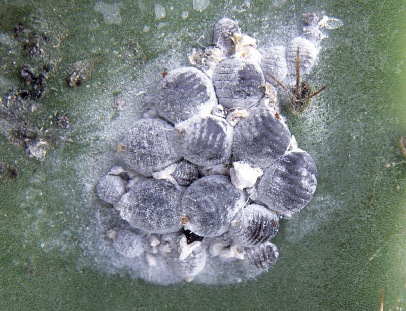 Kochenillen (Dactylopiuskokke) auf Opuntiekaktus stockfotos