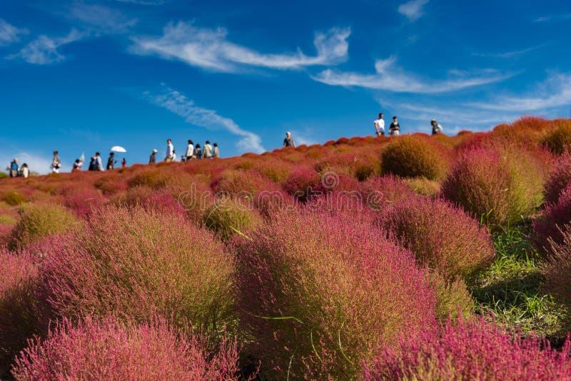 Kochia- och kosmosbusken med kullen landskap berget, på den Hitachi sjösidan parkerar i höst arkivfoton