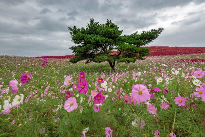 Kochia- och kosmosbusken med kullen landskap berget, på den Hitachi sjösidan parkerar i höst royaltyfria foton