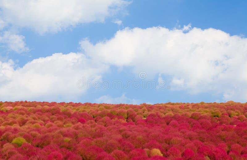 Kochias wzgórze w jesień sezonie zdjęcie royalty free