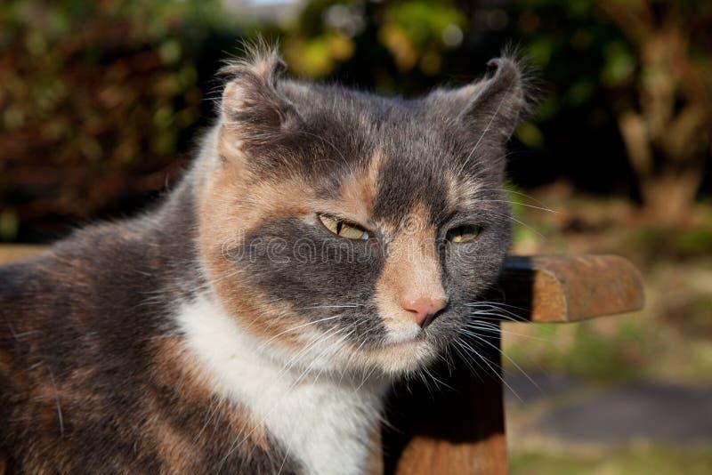 Koci słuchowy haematoma. zdjęcie royalty free