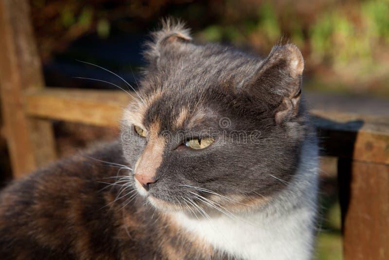 Koci słuchowy haematoma. zdjęcie stock