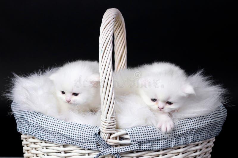 koci się perskiego biel zdjęcie royalty free