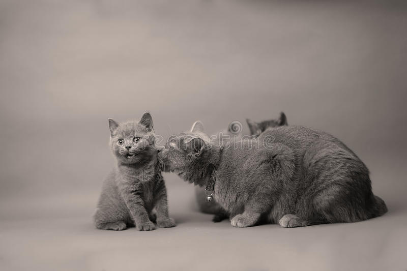 Koci się z macierzystym kotem na białym backgruond, copyspace zdjęcia royalty free