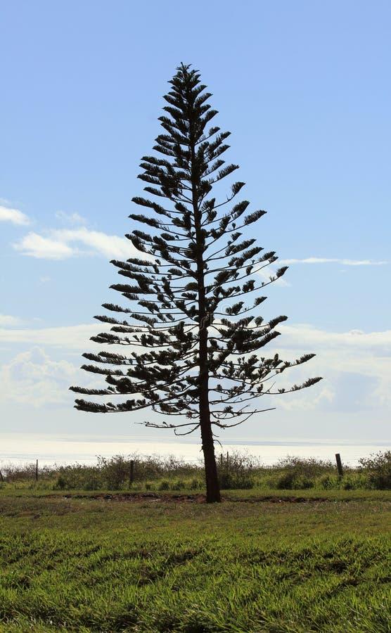 Kock Pine Trees i Lanai royaltyfria foton