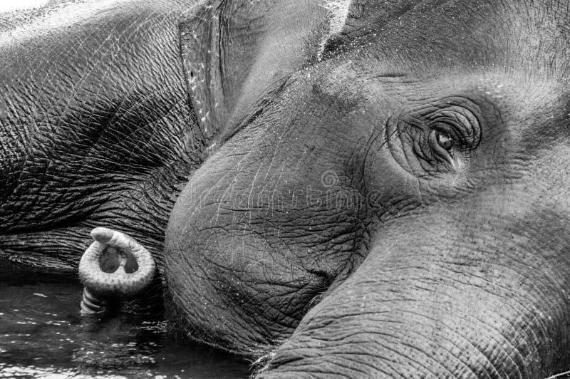 Kodanad黑白大象的圣所-大象沐浴过程中与眼睛和树干到左边- 库存照片