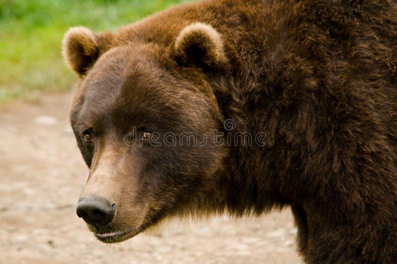 kodiak конца коричневого цвета медведя вверх стоковые изображения rf