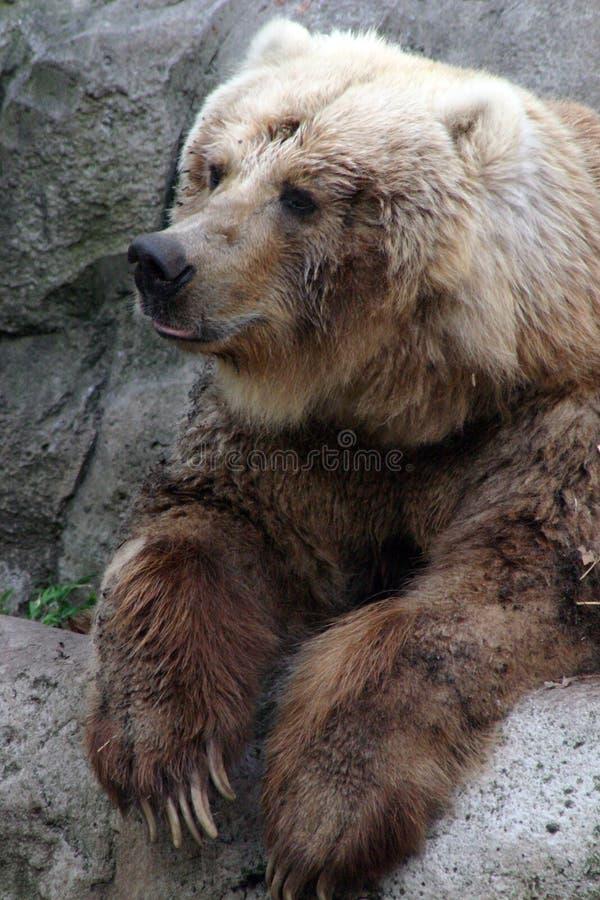 Kodiak-Bär lizenzfreie stockbilder