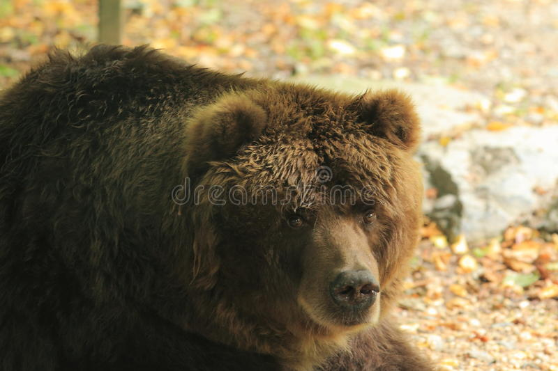 Kodiak bear. The detail of kodiak bear stock photos