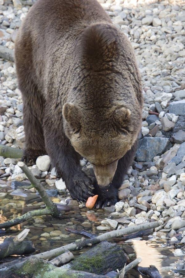 Kodiak bear. With a carrot - adobe RGB royalty free stock image