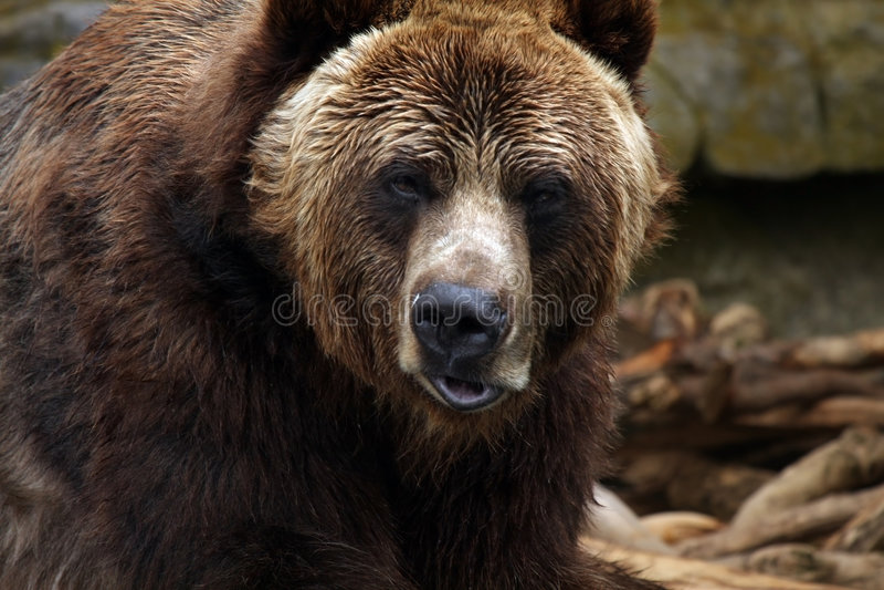 Kodiak Bear Royalty Free Stock Image