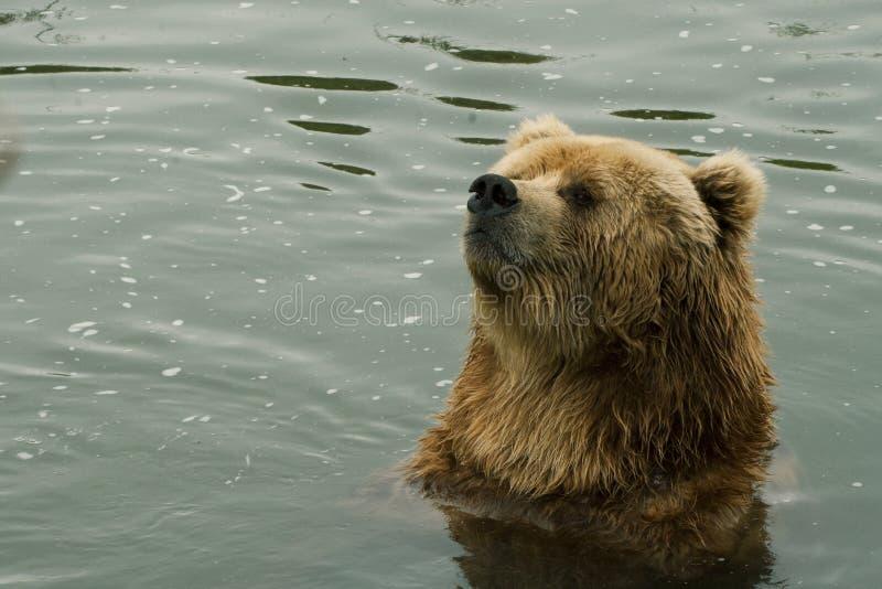 Kodiak bear. Portrait of a Kodiak Bear (Ursus arctos middendorffi) in the water royalty free stock photos