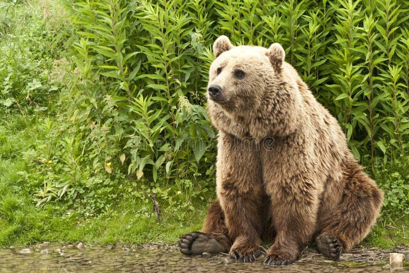 Kodiak bear. (Ursus arctos middendorffi) sitting on his hind legs at the waterside stock photography