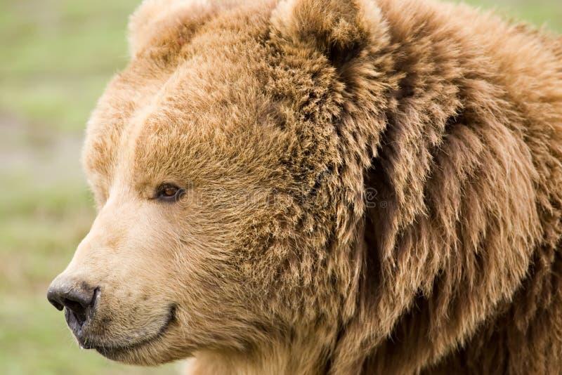 Kodiak brown bear. Head shot royalty free stock photo