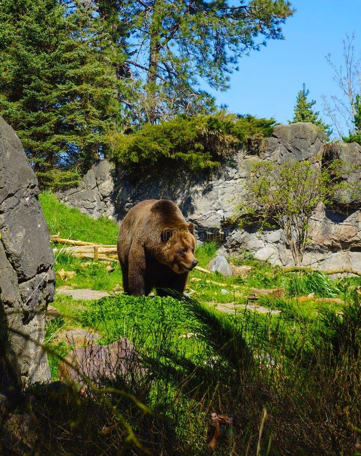Kodiak Brown niedźwiedzia Seattle zoo obrazy royalty free