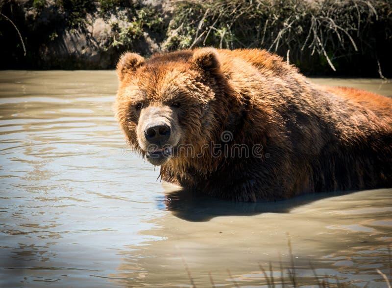 Kodiak i vatten royaltyfri fotografi