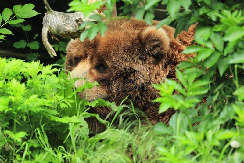 Kodiak niedźwiedź obrazy royalty free
