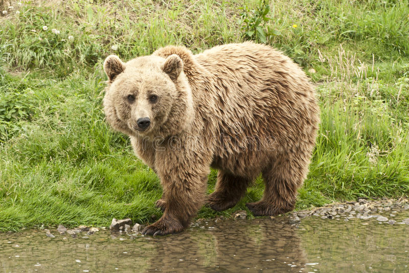 Kodiak niedźwiedź zdjęcie royalty free