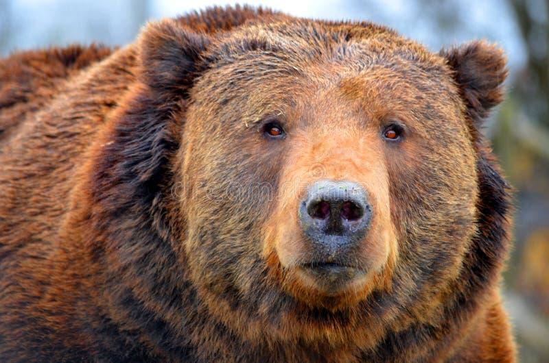 Kodiak niedźwiedź zdjęcie stock